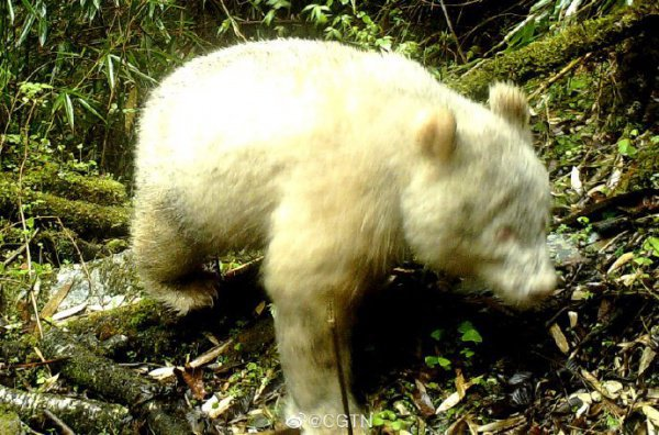 Согласно изображению, медведь выглядит здоровым и ведет нормальную жизнь
