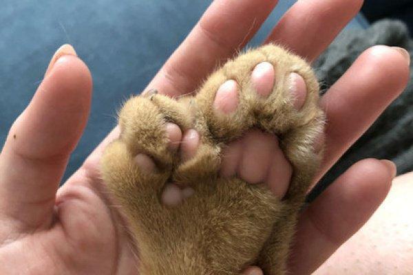 ФОТО: Caters NewsПри этом лишние пальцы на передних лапах кота такие большие, что напоминают еще одну лапу