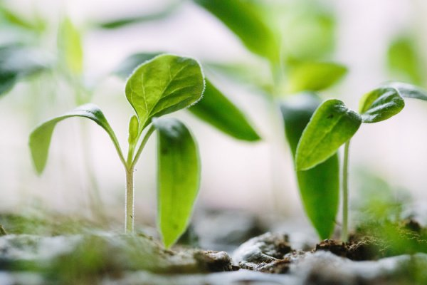 Биологи из УрФУ вывели табак, способный расти при повышенных концентрациях в почве ионов меди (Фото: Francesco Gallarotti/Unsplash)