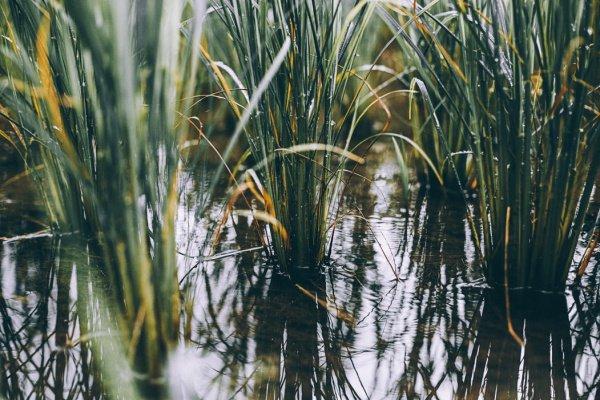 Подобный рис всходит и выживает в солончаке - почве, чей верхний слой характеризуется присутствием легкорастворимых солей,