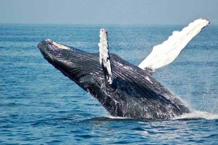 Резкое сокращение популяции горбатых китов было зафиксировано к середине 20 века