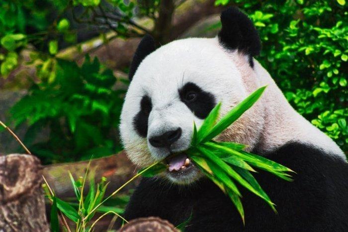 Панда Диндин была номинирована на звание «любимой панды за пределами Китая»