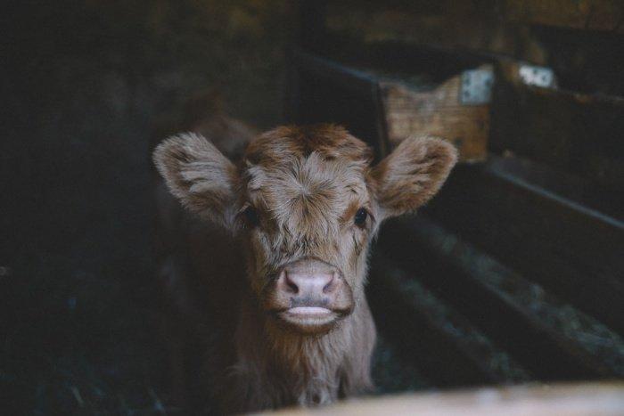 Необычный теленок уже стал знаменитостью