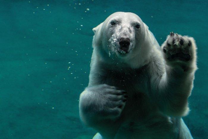 Предполагается, что программа, запущенная в 2020 году, позволит «сделать глобальный подсчет численности белых медведей»