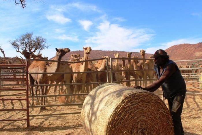Дикие верблюды в Австралии сегодня.