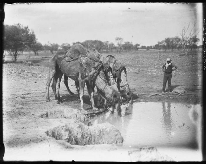 Водопой верблюдов в центральной Австралии, 1920 год.
