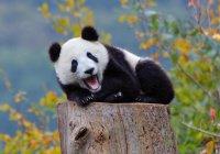 В Финляндию приехали панды, подаренные Китаем