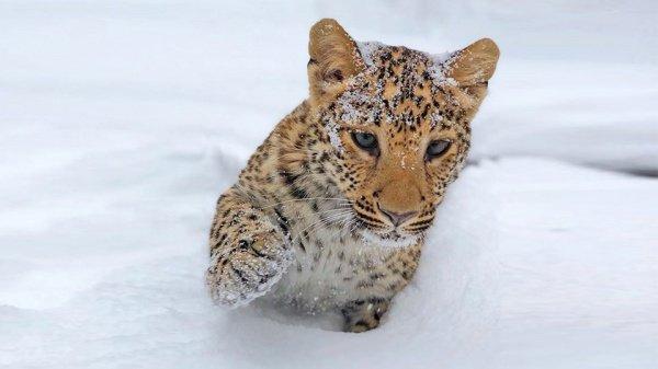 Милаша появилась на свет в зоопарке 5 месяцев назад от пары леопардов — Влада и Алены.