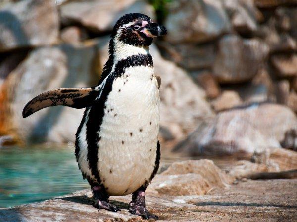 Черно-белый окрас птица приобретет примерно спустя месяц и будет похожа на взрослого пингвина