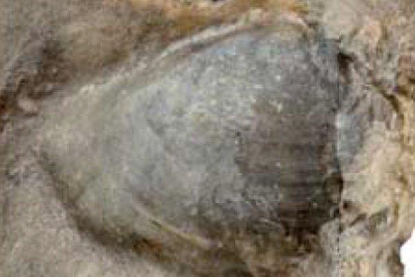 Эксперты идентифицировали образец как кость нижней челюсти, которая называется супрангулярной