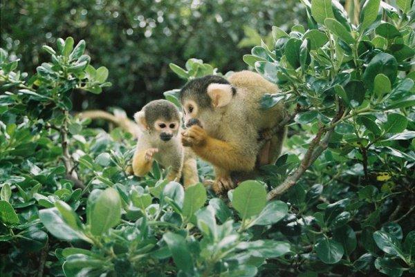 Саймири, или беличьи обезьяны, для зоопарков являются большой редкостью