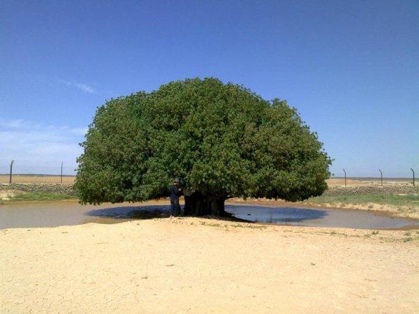 Благословенное дерево Пророка